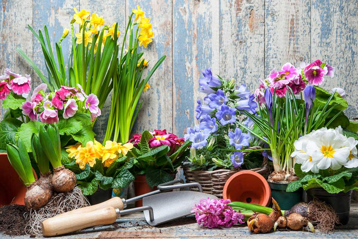 verschiedene Frühjahresblüher, Töpfe. Pföanzschaufel und anderes Gartengerät