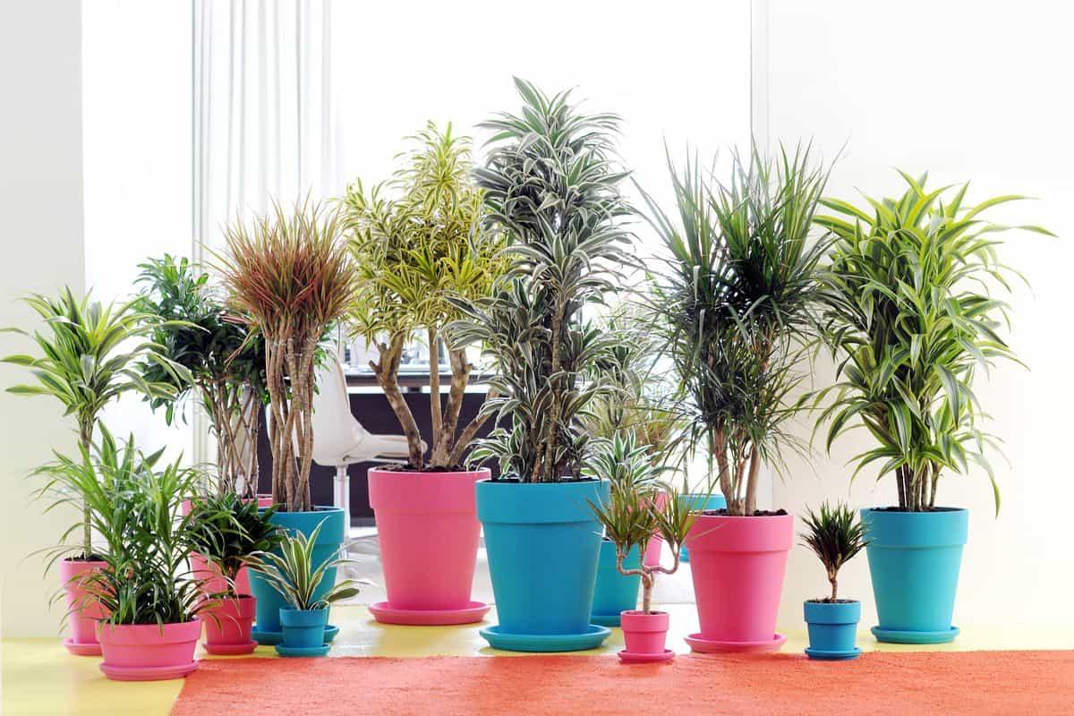 Drachenbäume in verschiedenen Arten und Sorten, eingestellt in bunte Übertöpfe