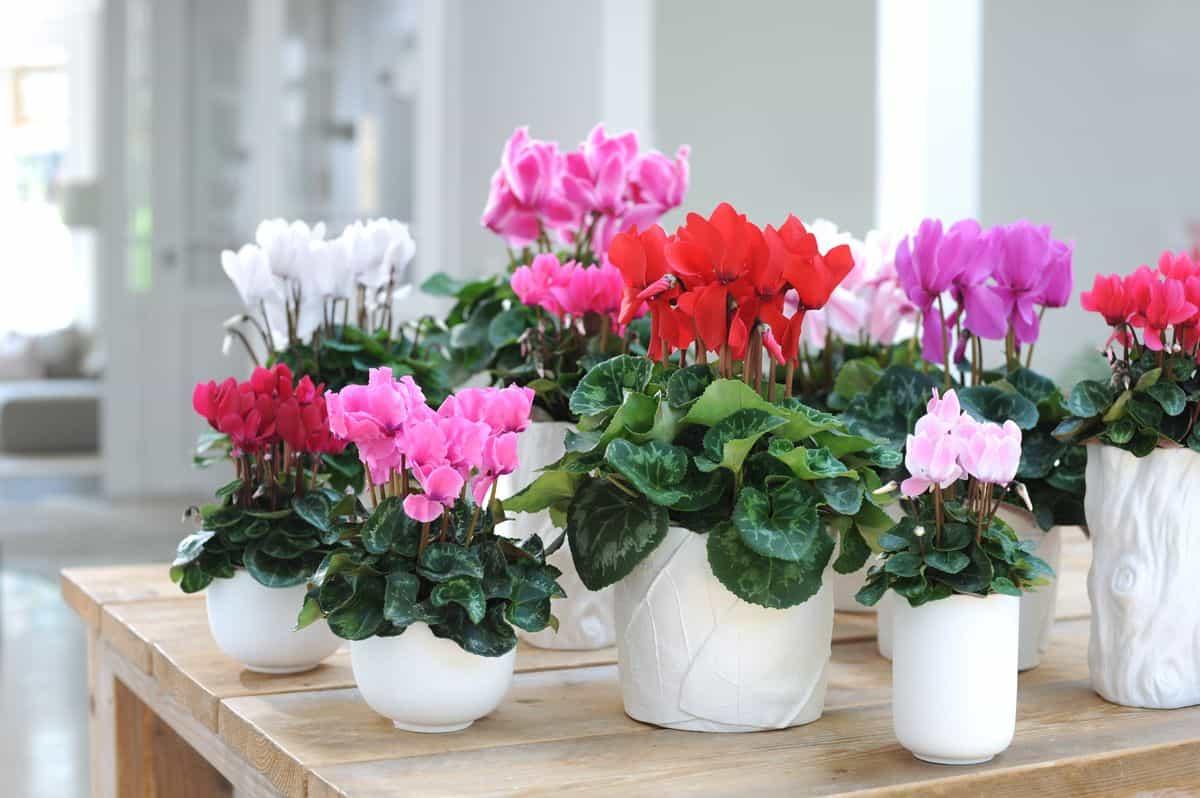 blühende Alpenveilchen in verschiedenen Farben und Größen mit Übertopf
