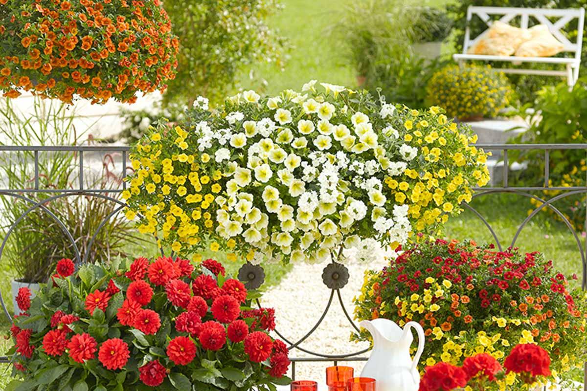 Balkonkasten mit gelben Hängepetunien, Calibrachoa und Verbenen, Dahlien auf einer Terasse