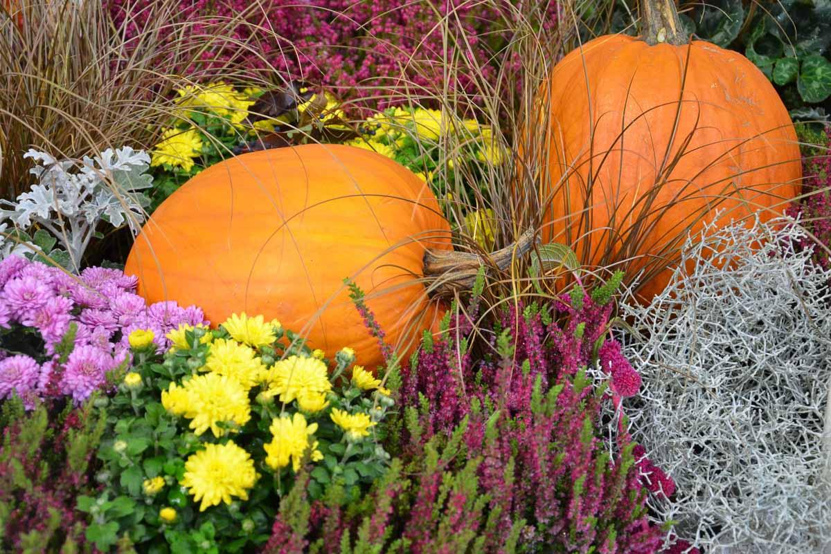Herbstliche Kürbisdekoration mit Besenheide, Chrysanthemen und Co