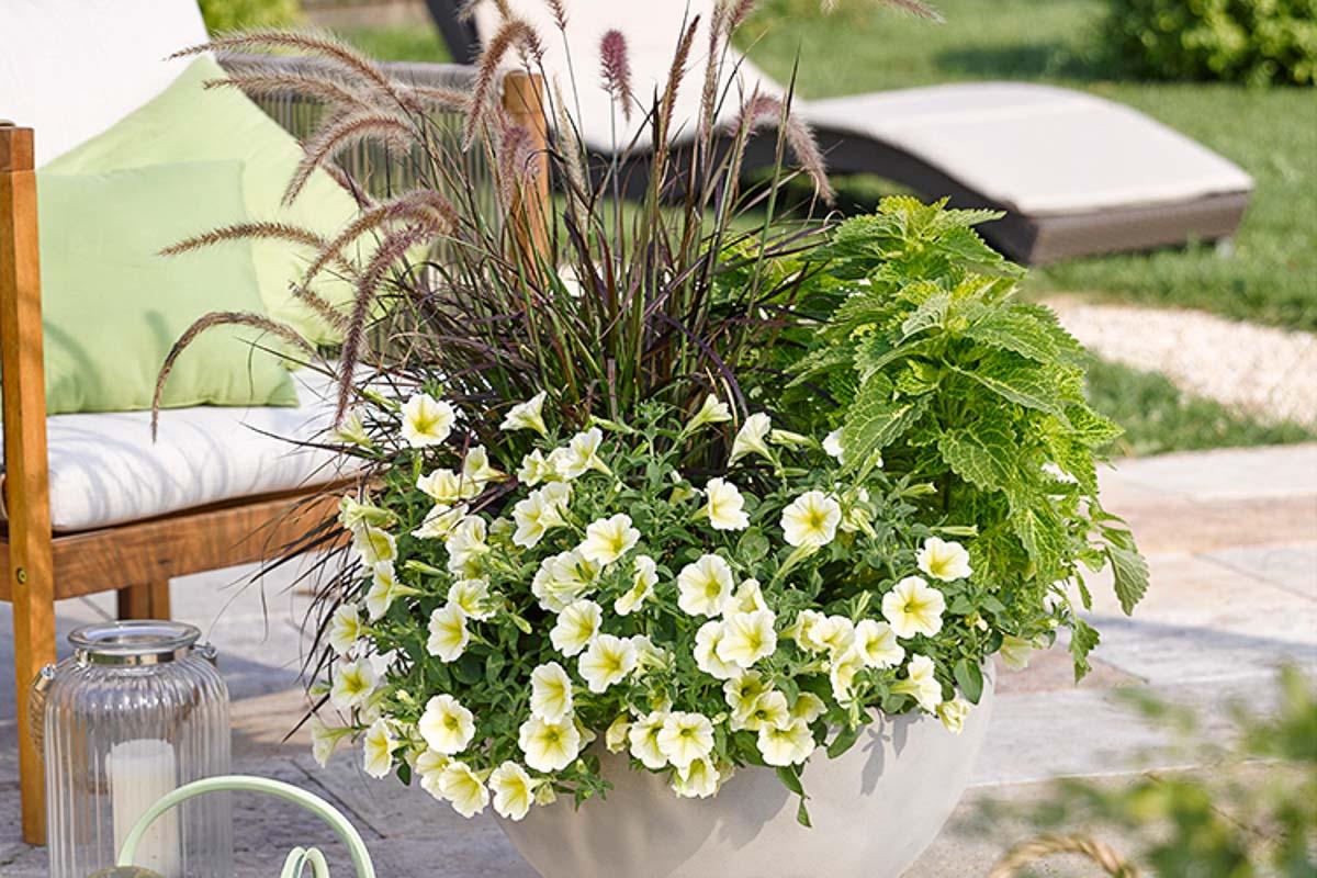 Terrassensituation mit einem gemischt bepflanzten Kübel (Pennisetum, Hängepetunie und Bundnessel)