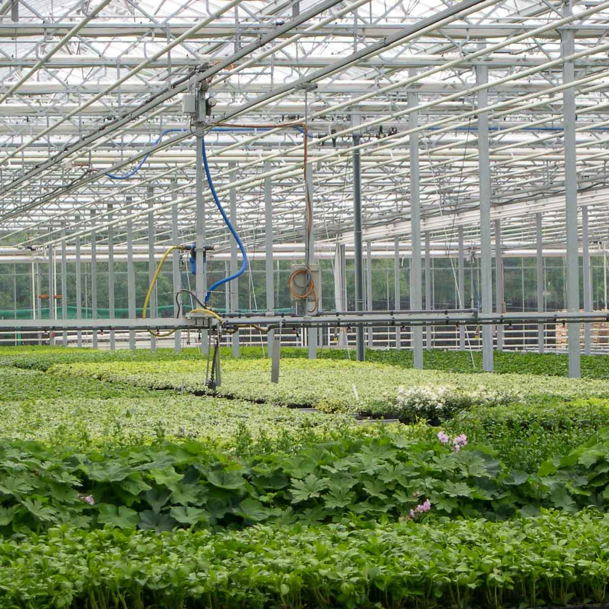 Betriebsansicht Helix Pflanzen GmbH / Müller Gartenbau KG - Bestand Bodendecker