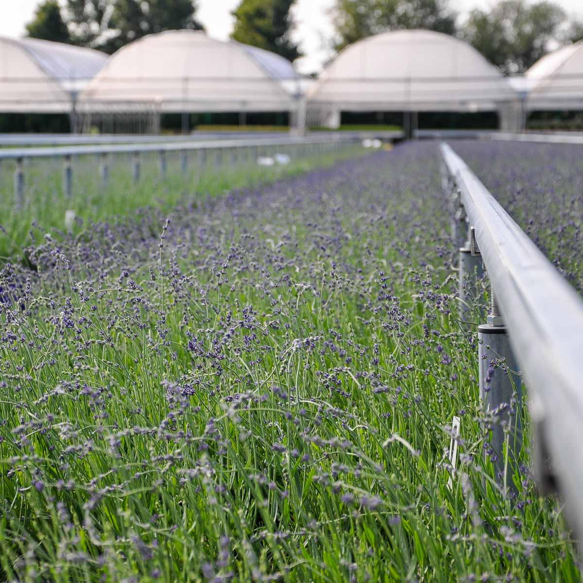 Betriebsansicht Helix Pflanzen GmbH / Müller Gartenbau KG - Bestand Lavendel
