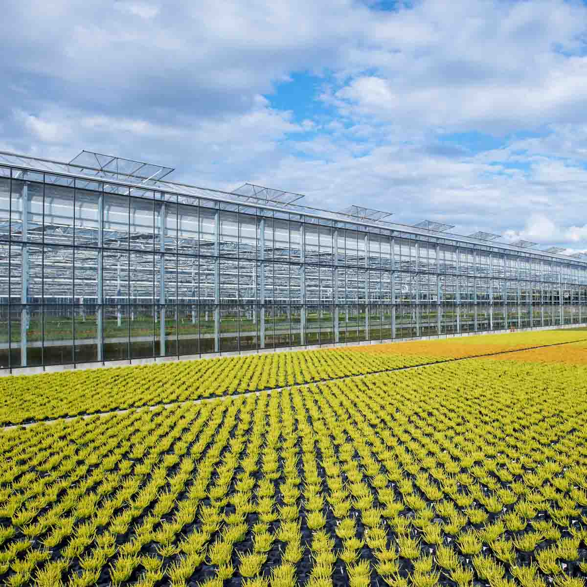 Betriebsabnsicht Helix Pflanzen GmbH / Müller Gartenbau KG - Calluna