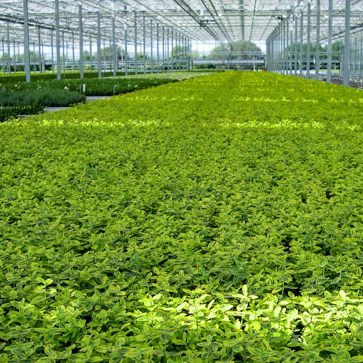 Betriebsansicht Helix Pflanzen GmbH / Müller Gartenbau KG - Euonymus