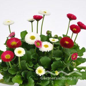 Bellis perennis gefüllt Gänseblümchen (Beitragsbild)bild)