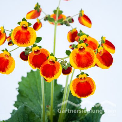 Calceolaria integrifolia Pantoffelblume (Beitragsbild)
