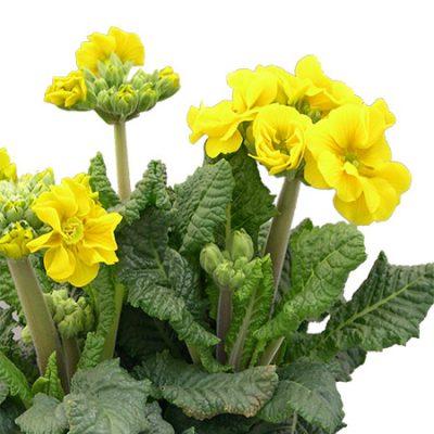 Primula elatior Schale Stängelprimel Hohe Schlüsselblume (Beitragsbild)üsselblume_(Beitragsbild)