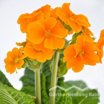 Primula elatior Stängelprimel, Hohe Schlüsselblume (Beitragsbild)mel, Hohe Schlüsselblume (Beitragsbild)