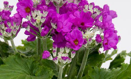 Primula malacoides Brautprimel (Beitragsbild)