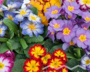 Primula vulgaris Kissenprimel (Beitragsbild)