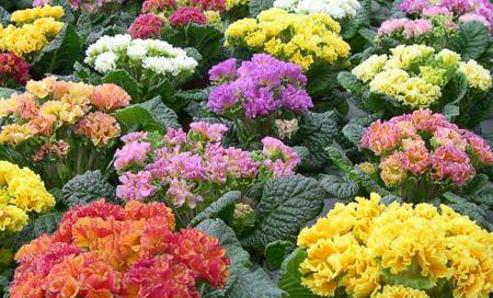 Primula vulgaris gefüllt Primel (Beitragsbild)