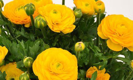 Ranunculus Hybriden Ranunkeln (Beitragsbild)