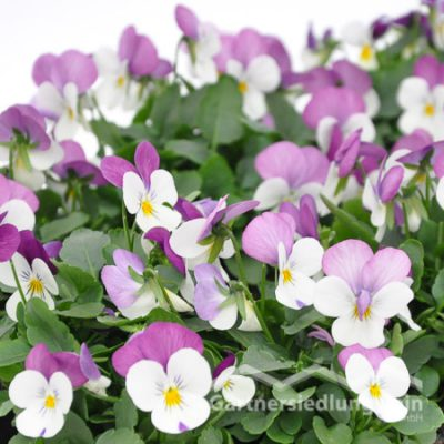 Viola cornuta Horn-Veilchen (Beitragsbild)