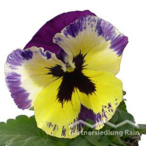 Viola wittrockiana Garten-Stiefmütterchen (Beitragsbild)ragsbild)
