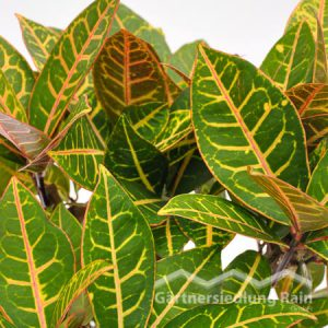 Codiaeum variegatum Wunderstrauch (Beitragsbild)d)