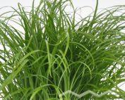 Cyperus zumula Katzengras (Beitragsbild)