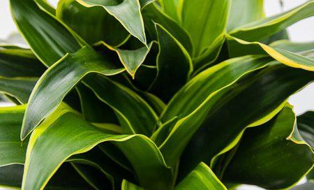 "Dracaena fragrans ""Dorado"" Drachenbaum (Beitragsbild)ld)"
