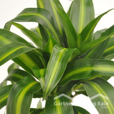 """Dracaena fragrans """"Hawaian-Sunshine Drachenbaum (Beitragsbild)baum_(Beitragsbild)"""