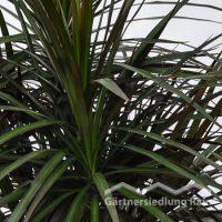 "Dracaena marginata ""Magenta"" Drachenbaum_(Beitragsbild)"