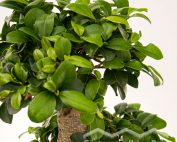 Ficus_microcarpa_Bonsai_(Beitragsbild)