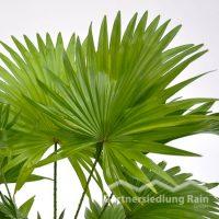 Livistonia rotundifolia Rundblättrige Schirmpalme (Beitragsbild)sbild)