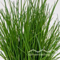 Allium schoenoprasum Greenbar Schnittlauch (Beitragsbild)