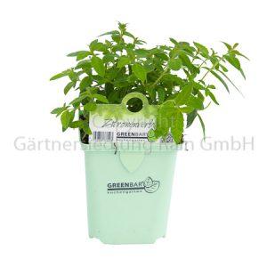 Aloysia citriodora Greenbar Zitronenverbene