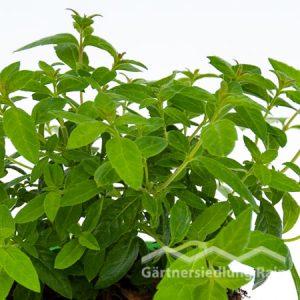 Aloysia citriodora Greenbar Zitronenverbene (Beitragsbild)