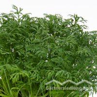 Anethum graveolens Greenbar Dill (Beitragsbild)