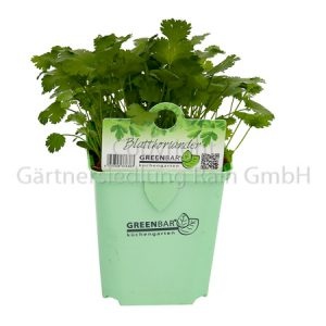 Coriandrum sativum Greenbar Blattkoriander