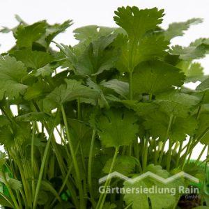 Coriandrum sativum Greenbar Blattkoriander (Beitragsbild)