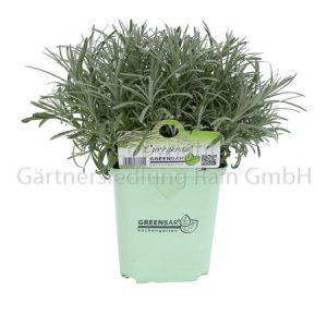 Helichrysum italicum Geenbar Currykraut