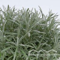Helichrysum italicum Greenbar Currykraut (Beitragsbild)