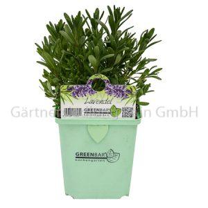 Lavandula angustifolia Greenbar Lavendel