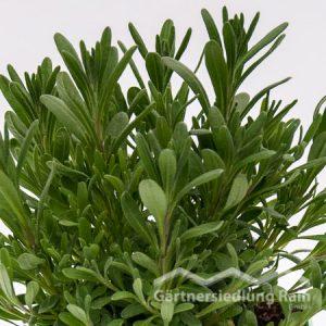 Lavandula angustifolia Greenbar Lavendel (Beitragsbild)