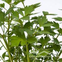 Levisticum officinale Greenbar Liebstock (Beitragsbild)