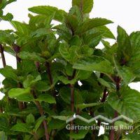 Mentha piperita Greenbar Pfefferminze (Beitragsbild)