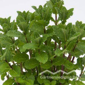 Mentha spicta Greenbar Cocktailminze (Beitragsbild)