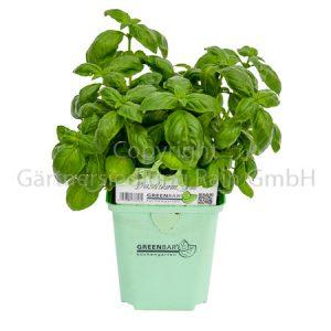 Ocimum basilicum Greenbar Basilikum grün