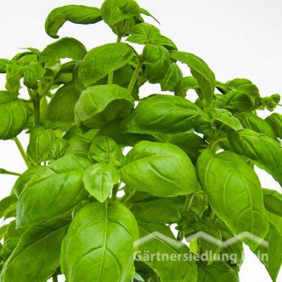 Ocimum basilicum Greenbar Basilikum grün (Beitragsbild)