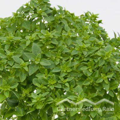 Ocimum basilicum kleinblättrig Greenbar Balkonbasilikum kleinblättrig (Beitragsbild)