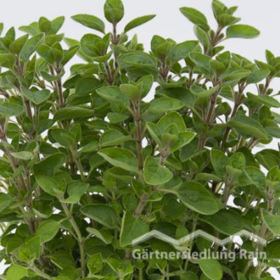 Origanum majorana Greenbar Majoran (Beitragsbild)