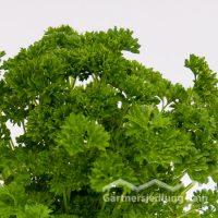 Petroselinum crispum Greenbar Petersilie Mooskrause (Beitragsbild)