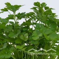 Petroselinum crispum glatt Greenbar Petersilie glatt (Beitragsbild)