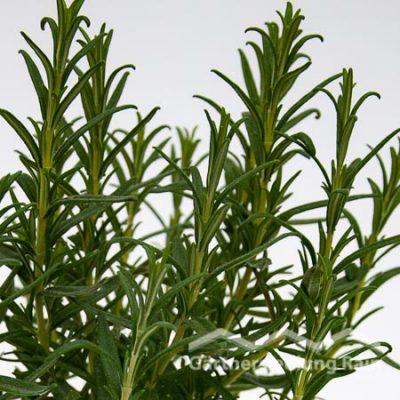 Rosmarinus officinalis Greenbar Rosmarin, stehend (Beitragsbild)