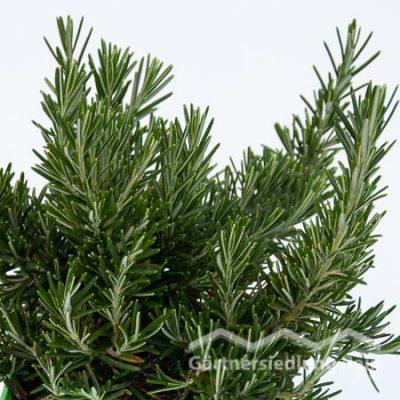 Rosmarinus officinalis hängend Greenbar Rosmarin hängend (Beitragsbild)
