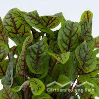 Rumex sanguineus Greenbar Blutampfer (Beitragsbild)