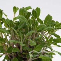 Salvia officinalis Greenbar Salbei (Beitragsbild)